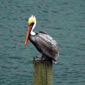 Lone Pelican At Seapath Marina 18x18