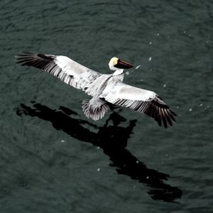 Pelican And Shadow 18x18